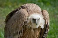 پاورپوینت کرکس و شگفتی های آن (Vulture)